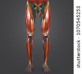 lower limbs muscle anatomy with ... | Shutterstock . vector #1070545253