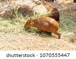capybara  hydrochaeris...   Shutterstock . vector #1070555447