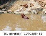 capybara  hydrochaeris...   Shutterstock . vector #1070555453
