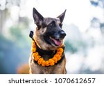german shepherd with a marigold ... | Shutterstock . vector #1070612657