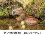 capybara  hydrochaeris...   Shutterstock . vector #1070674427