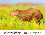 capybara  hydrochaeris...   Shutterstock . vector #1070674457