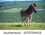 zebra on the plains | Shutterstock . vector #1070704433