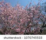 cherry blossoms   cherry trees... | Shutterstock . vector #1070745533