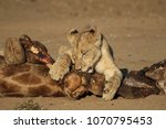 Lion Cub Feasting On Dead...