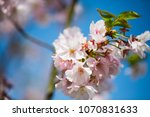 pink flowers on the tree ... | Shutterstock . vector #1070831633