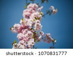 pink flowers on the tree ... | Shutterstock . vector #1070831777