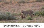 the cheetah carries the victim... | Shutterstock . vector #1070877047