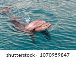 the yong bottlenose dolphin is... | Shutterstock . vector #1070959847