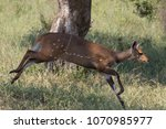 a bushbuck in full stride as it ... | Shutterstock . vector #1070985977