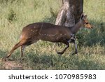 a bushbuck in full stride as it ... | Shutterstock . vector #1070985983