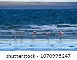 flamingos in seascape patagonia ... | Shutterstock . vector #1070995247