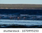 flamingos in seascape patagonia ... | Shutterstock . vector #1070995253