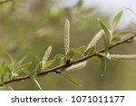 Small photo of Willow flower of an Almond willow (Salix triandra)