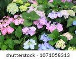 beautiful hydrangea flowers in... | Shutterstock . vector #1071058313
