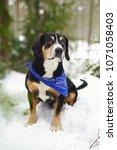 entlebucher mountain dog... | Shutterstock . vector #1071058403