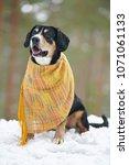entlebucher mountain dog... | Shutterstock . vector #1071061133
