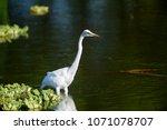 great egret  ardea alba  lake... | Shutterstock . vector #1071078707