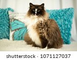 murphy a ragdoll purebred cat... | Shutterstock . vector #1071127037