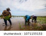 Small photo of BUTTERWORTH malaysia 18 april 2018 - the workers carry out paddy planting activities in the rice field this season because the cultivation is carried out every year. BUTTERWORTH malaysia 18 april 2018