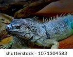 the green iguana  iguana iguana ... | Shutterstock . vector #1071304583