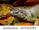 the green iguana  iguana iguana ... | Shutterstock . vector #1071312593