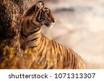 royal bengal tiger pose with... | Shutterstock . vector #1071313307