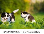 border collie puppy and... | Shutterstock . vector #1071378827