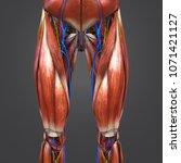 lower limbs muscles anatomy... | Shutterstock . vector #1071421127