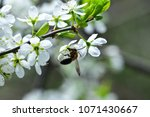 the bee collects nectar in the... | Shutterstock . vector #1071430667