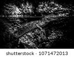 small wild crocodile  detail of ... | Shutterstock . vector #1071472013