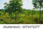 eucalyptus plantation for... | Shutterstock . vector #1071472277