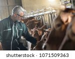 farmer in barn checking on... | Shutterstock . vector #1071509363