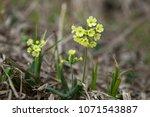 primula veris. primula veris or ... | Shutterstock . vector #1071543887