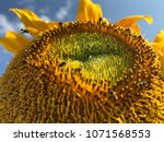 stingless bees are collecting... | Shutterstock . vector #1071568553