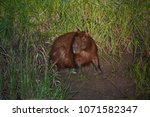 capybara in wildlife in brazil   Shutterstock . vector #1071582347