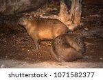 capybara in wildlife in brazil   Shutterstock . vector #1071582377