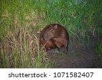 capybara in wildlife in brazil   Shutterstock . vector #1071582407