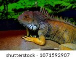 the  iguana  iguana iguana  is... | Shutterstock . vector #1071592907