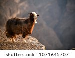 goat at the edge of a mountain... | Shutterstock . vector #1071645707
