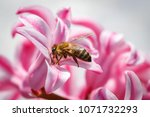 bee on a pink flower collecting ... | Shutterstock . vector #1071732293