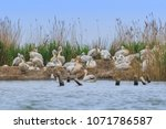 dalmatian pelicans  pelecanus... | Shutterstock . vector #1071786587
