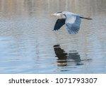 great blue heron in flight... | Shutterstock . vector #1071793307