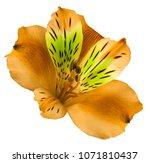 flower orange  alstroemeria  on ... | Shutterstock . vector #1071810437