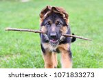 a charming puppy of a german... | Shutterstock . vector #1071833273