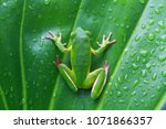 white lipped  tree frog on... | Shutterstock . vector #1071866357