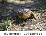 common toad  spring | Shutterstock . vector #1071884813