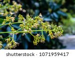 spring blooming lychee   nectar ... | Shutterstock . vector #1071959417
