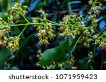 spring blooming lychee   nectar ... | Shutterstock . vector #1071959423