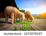merino sheep eating luzi grass... | Shutterstock . vector #1072078337
